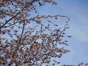 Sakura20120429_003a